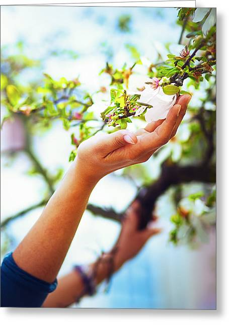 Praying Hands Greeting Cards - Adoring the spring magnolia flowers on a tree in sun light. Flower in woman hand Greeting Card by Jozef Klopacka