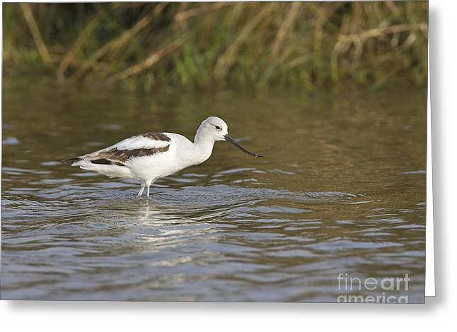 James Pyrography Greeting Cards - American Avocet Greeting Card by James Mundy