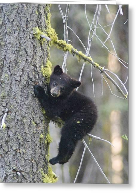Sequoia National Park Greeting Cards - American Black Bear Ursus Americanus Greeting Card by Rich Reid