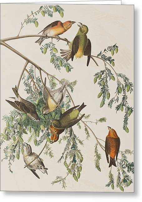 Flocks Of Birds Drawings Greeting Cards - American Crossbill Greeting Card by John James Audubon