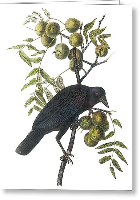 Crow Paintings Greeting Cards - American Crow Greeting Card by John James Audubon