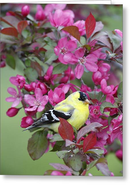 Wildlife Celebration Greeting Cards - American Goldfinch in Pink Blossoms Greeting Card by Birds Only