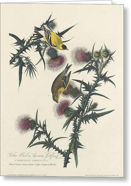 American Goldfinch Greeting Card by John James Audubon
