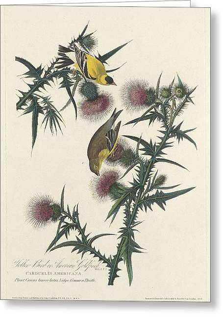American Goldfinch Greeting Cards - American Goldfinch Greeting Card by John James Audubon