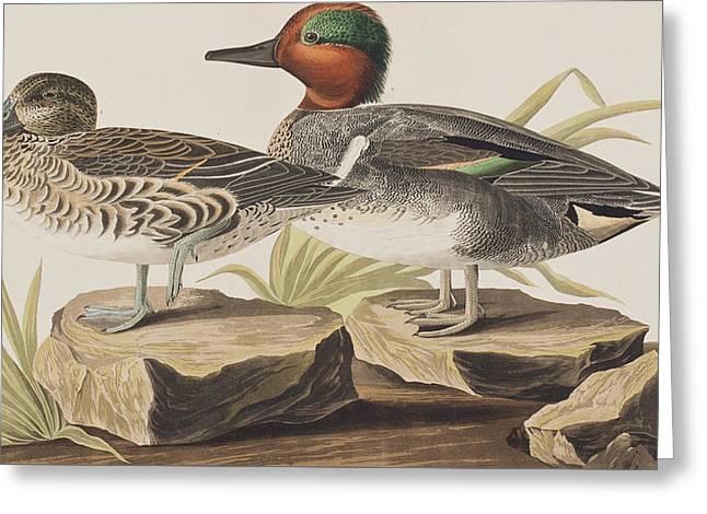 American Green-winged Teal Greeting Card by John James Audubon