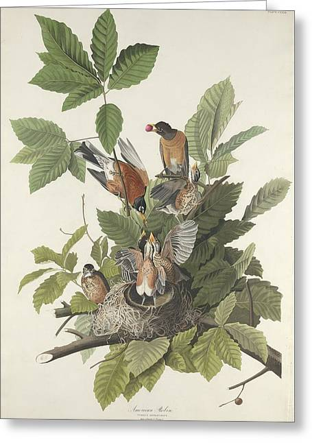 American Robin Greeting Cards - American Robin Greeting Card by John James Audubon