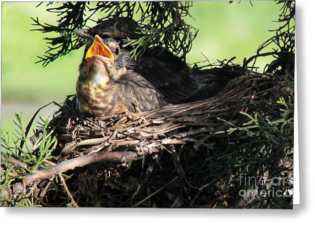 American Robin Greeting Cards - American Robin nestlings Greeting Card by Adam Long