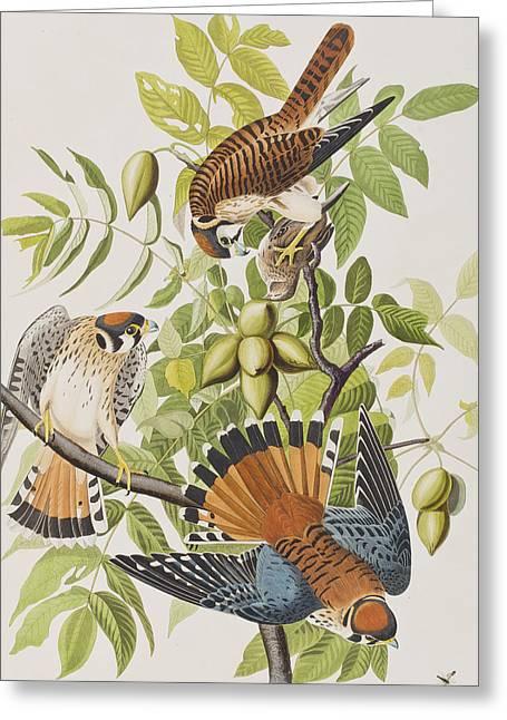 Hawk Greeting Cards - American Sparrow Hawk Greeting Card by John James Audubon
