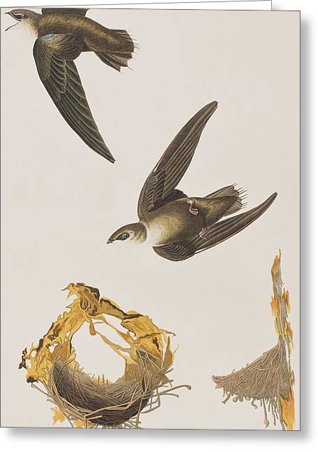 Flying Bird Drawings Greeting Cards - American Swift Greeting Card by John James Audubon