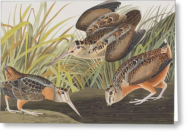 Ornithology Greeting Cards - American Woodcock Greeting Card by John James Audubon