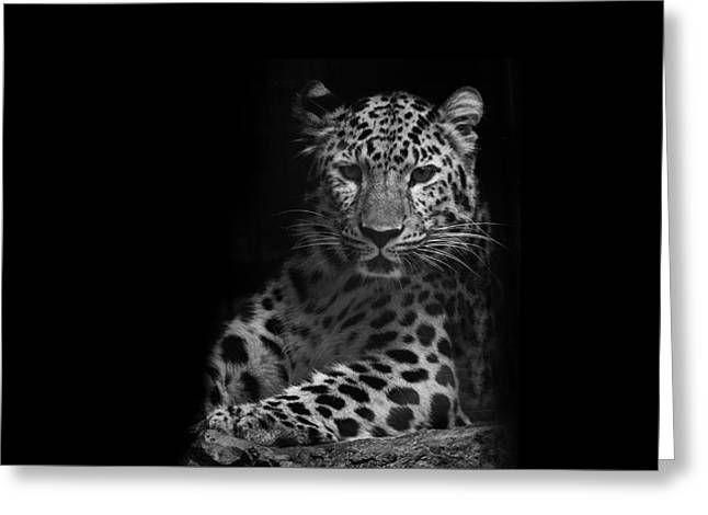 Modern Canvas Art Photo Greeting Cards - Amur Leopard Greeting Card by Stephanie McDowell
