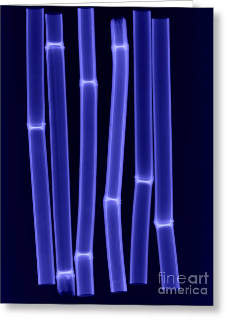 Vulgaris Greeting Cards - An X-ray Of Bamboo Greeting Card by Ted Kinsman