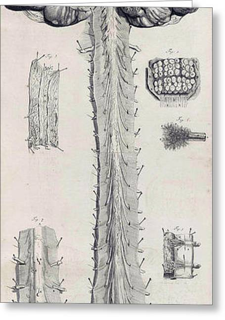 Naturalistic Greeting Cards - Anatomia Humani Corporis, Table 10, 1690 Greeting Card by Science Source