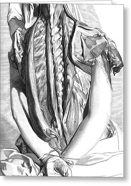 Naturalistic Greeting Cards - Anatomia Humani Corporis, Table 30, 1690 Greeting Card by Science Source