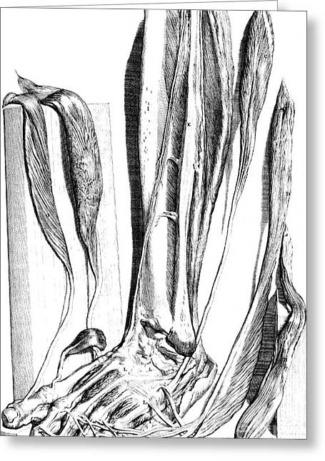 Naturalistic Greeting Cards - Anatomia Humani Corporis, Table 82, 1690 Greeting Card by Science Source