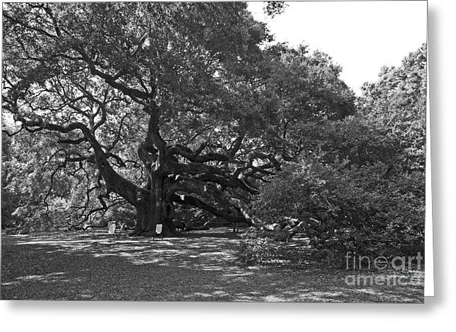 Angel Blues Greeting Cards - Angel Oak Tree Greeting Card by Skip Willits
