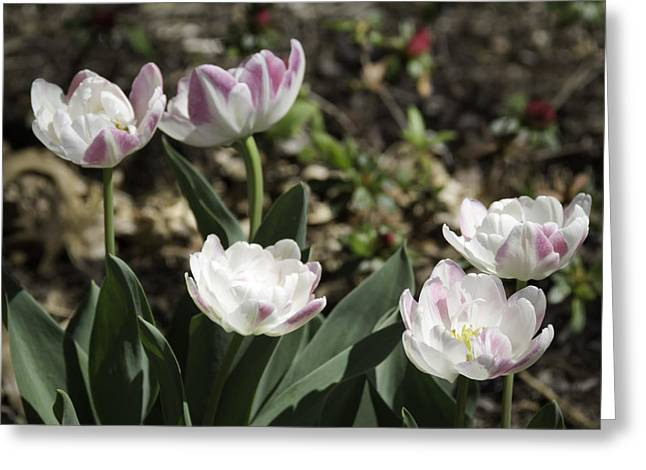 Spring Bulbs Greeting Cards - Angelique Peony Tulips Greeting Card by Teresa Mucha