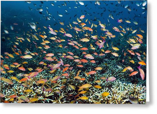 Brightly Colored Fish Greeting Cards - Anthias Over A Reef Greeting Card by Georgette Douwma