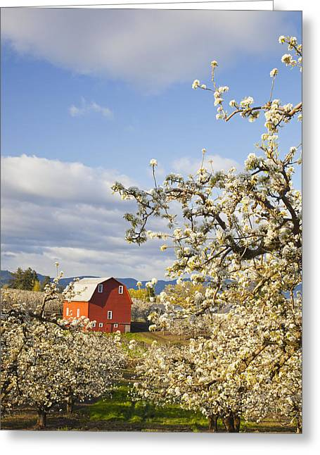 Tuttle Greeting Cards - Apple Blossom Trees And A Red Barn In Greeting Card by Craig Tuttle