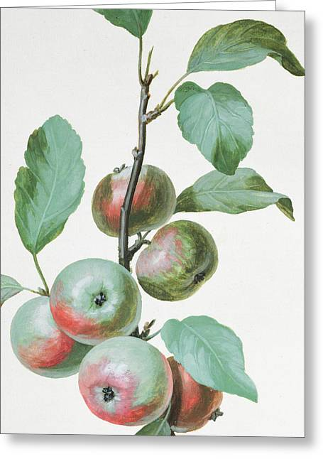 Apple Art Greeting Cards - Apples Greeting Card by Pierre Joseph Redoute