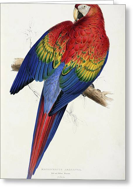 Edward Lear Greeting Cards - Ara macao Greeting Card by Celestial Images