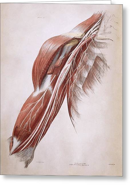 Biceps Greeting Cards - Arm Nerves Greeting Card by Sheila Terry