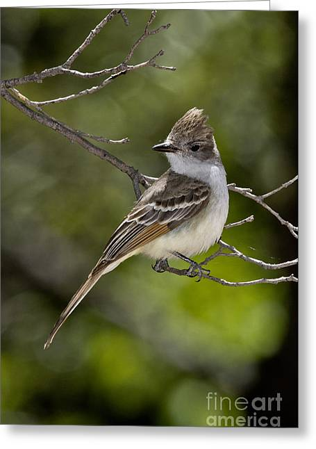 Ash-throated Flycatcher Greeting Card by Anthony Mercieca