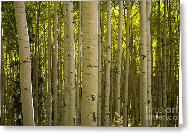 Aspen Grove Greeting Cards - Aspen Grove Greeting Card by Timothy Johnson