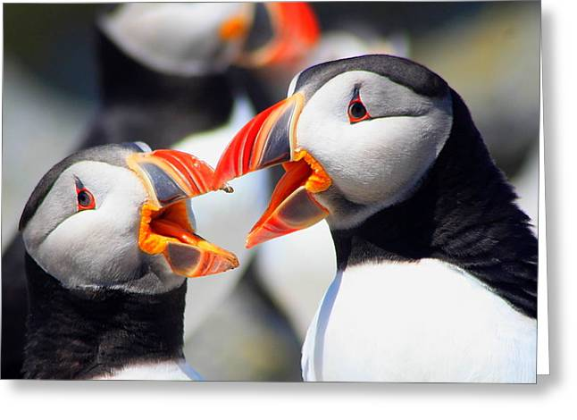 Seabirds Greeting Cards - Atlantic Puffins Greeting Card by John Burk