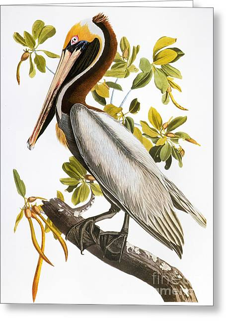 Best Sellers -  - Zoology Greeting Cards - Audubon: Pelican Greeting Card by Granger