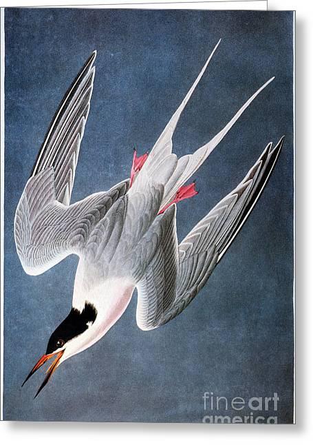 Tern Greeting Cards - Audubon: Tern Greeting Card by Granger
