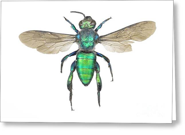 Sweat Greeting Cards - Augochlora Sweat Bee Greeting Card by Lawrence Lawry