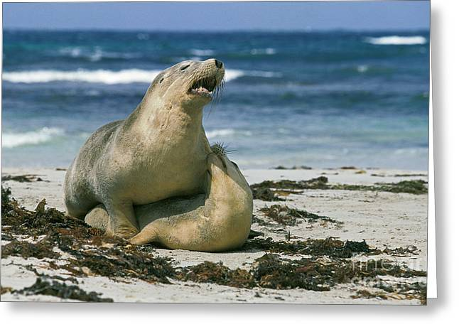 Australian Sea Lion Neophoca Cinerea Greeting Card by Gerard Lacz