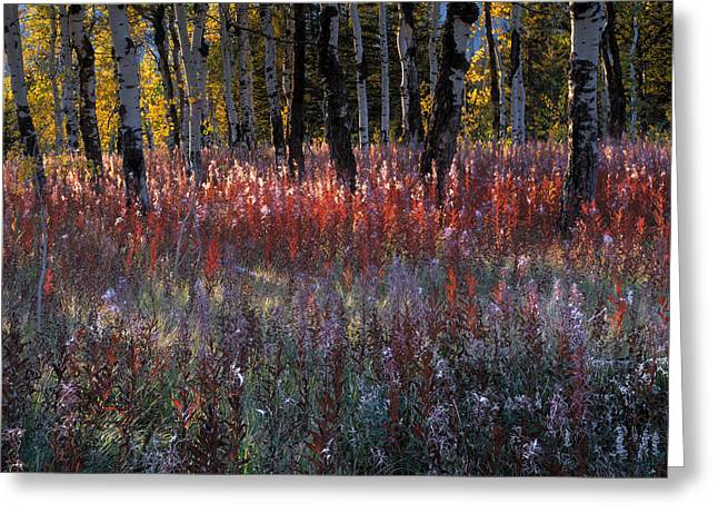 Aspens In Fall Greeting Cards - Autumn Light Greeting Card by Leland D Howard