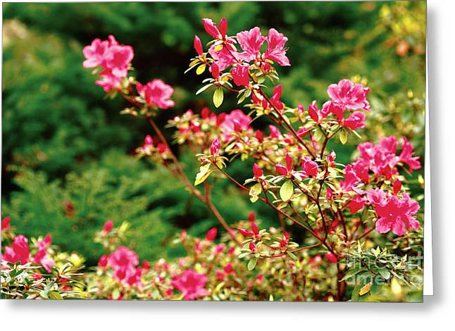 Vale Greeting Cards - Azalea blooming Greeting Card by Gaspar Avila