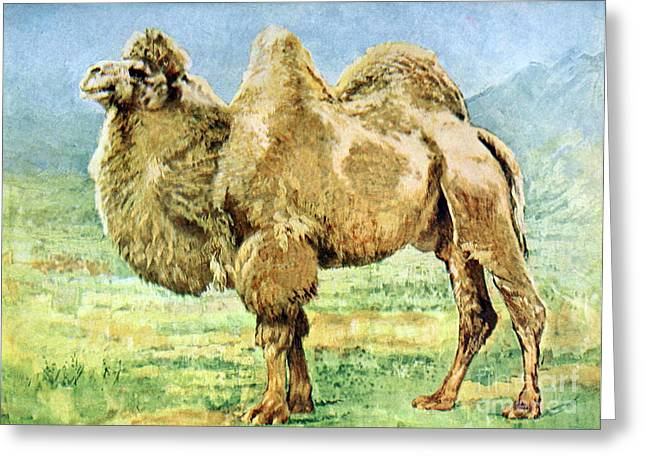 Critically Endangered Species Greeting Cards - Bactrian Camel, Endangered Species Greeting Card by Biodiversity Heritage Library