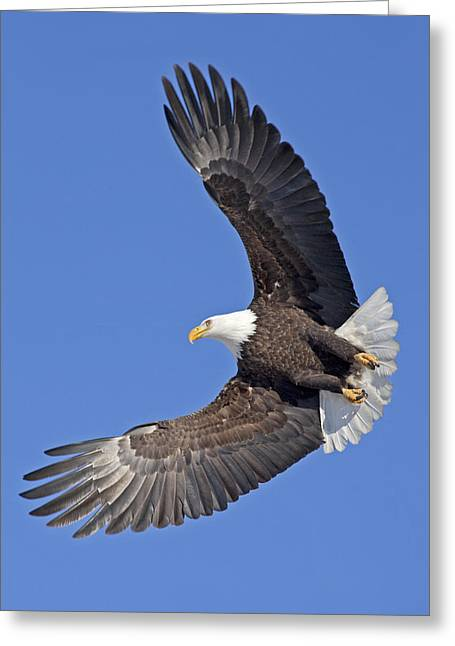Spreads Greeting Cards - Bald Eagle in Flight Greeting Card by Tim Grams