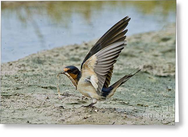 Barn Swallow Greeting Card by Anthony Mercieca