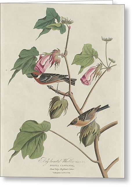 Warblers Greeting Cards - Bay-Breasted Warbler Greeting Card by John James Audubon