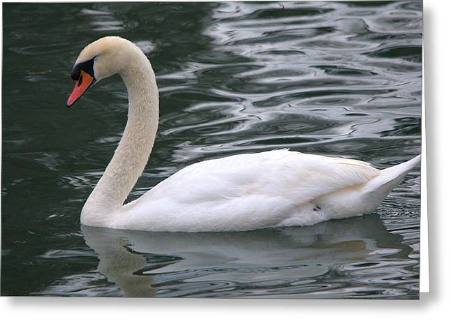 Hunting Bird Greeting Cards - Beautiful Mute Swan At Lady Bird Lake Greeting Card by Roy Williams
