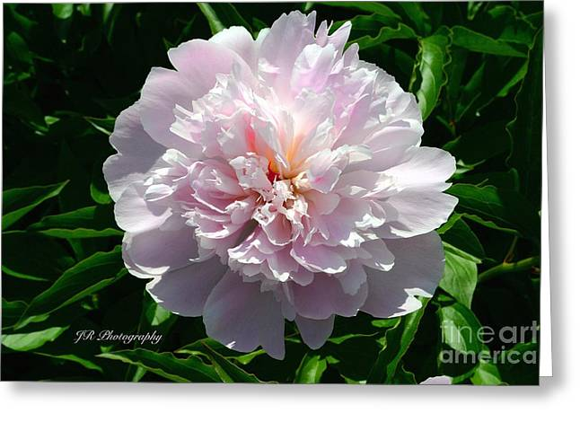 Spring Bulbs Greeting Cards - Beauty in Pink Greeting Card by Jeannie Rhode Photography