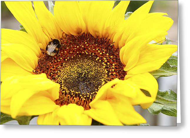 Pollinating Greeting Cards - Bee Greeting Card by Les Cunliffe