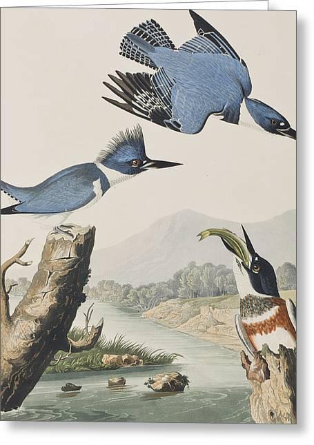 Belted Kingfisher Greeting Card by John James Audubon
