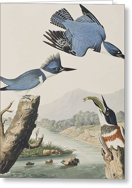 Wooden Fish Greeting Cards - Belted Kingfisher Greeting Card by John James Audubon