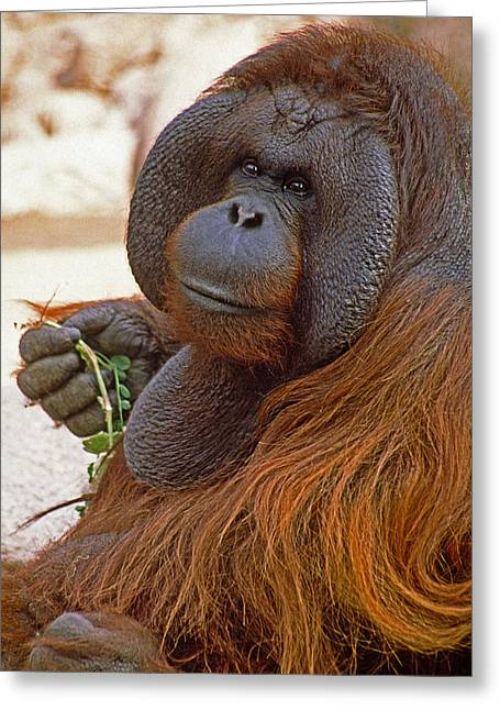 Orangutans Greeting Cards - Big Daddy Greeting Card by Michele Burgess