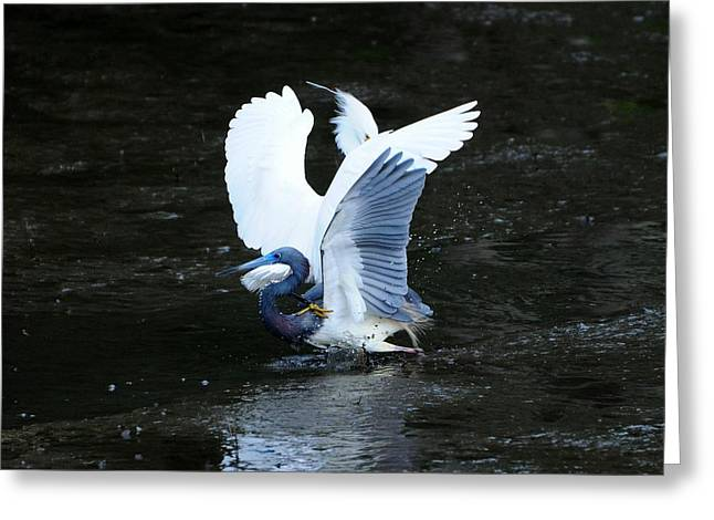Tricolored Heron Greeting Cards - Bird Brawl Greeting Card by Al Powell Photography USA
