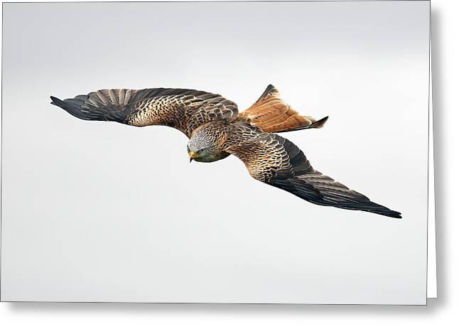 Raptor In Flight Greeting Cards - Bird of prey in flight Greeting Card by Grant Glendinning