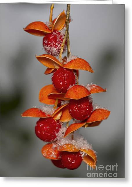 Celastrus Scandens Greeting Cards - Bittersweet Berries Greeting Card by Kenneth M. Highfill