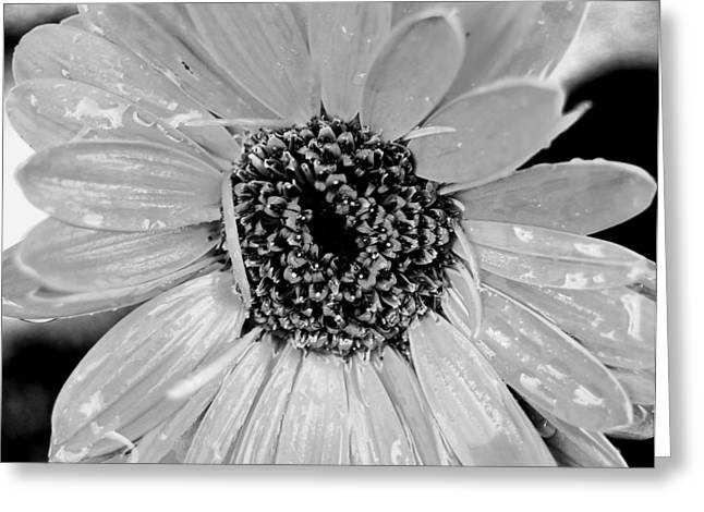 Black And White Gerbera Daisy Greeting Card by Amy Fose