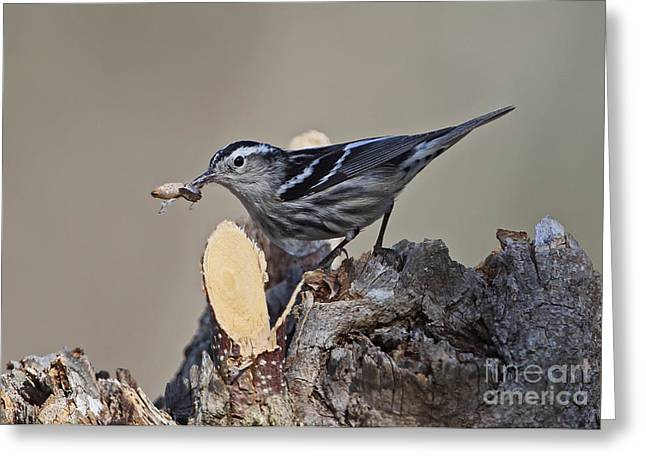 Greater Antilles Greeting Cards - Black-and-white Warbler Greeting Card by Neil Bowman/FLPA